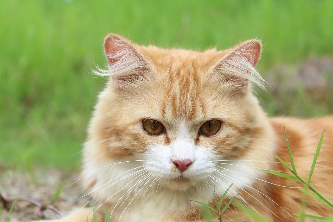 Comment éviter que votre chat n'attrape des puces