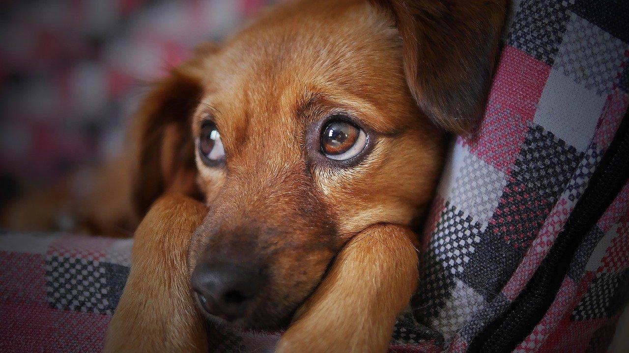 Que faire pour éviter que votre chien ne subisse un retournement d'estomac